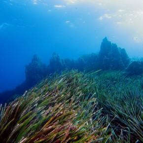Posidonia oceanica : une forêt sous la mer