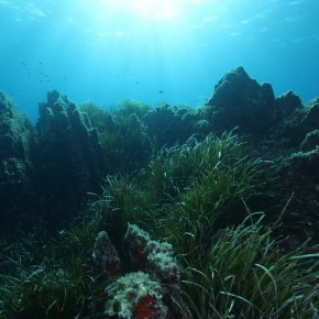L'herbier à Posidonia oceanica en Méditerranée : protection légale et gestion