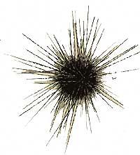 centrostephanuslongispinusthumb