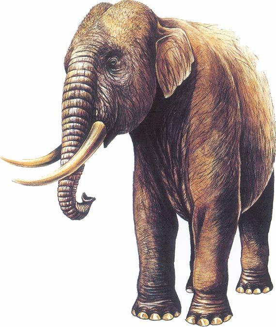 elephant_nain