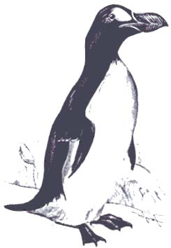grand_pingouin