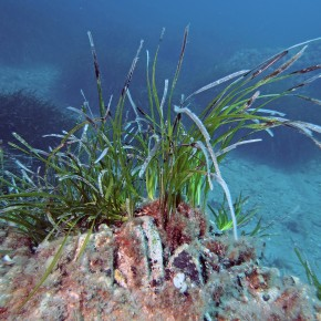 The Posidonia oceanica seagrass meadow of the Mediterranean : legal protection and management.