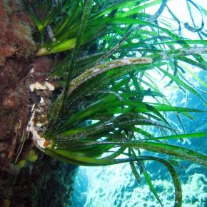 Le G.I.S. Posidonie : un réseau de chercheurs et de gestionnaires du milieu marin