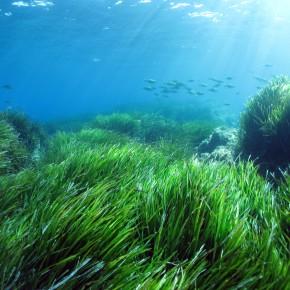 De Port-Cros à Port-Cros, en passant par Bruxelles : l'histoire d'un écosystème-miracle, l'herbier à Posidonia oceanica