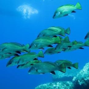 La fondation du GIS Posidonie. Une structure originale pour protéger et connaître l'environnement marin