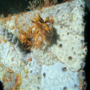 Rapid, short and impressive colonisation on one module type of artificial reef by Didemnidae ascidians