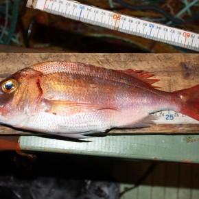 5 espèces cibles de la pêche suivies dans l'aire marine adjacente du Parc national de Port-Cros