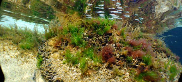 Etude de la fonctionnalité de nurserie de l'étang de Berre et évaluation d'un besoin de restauration écologique - JUVABERRE