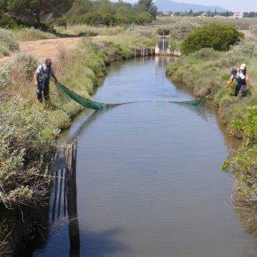 Pêches scientifiques dans les salins d'Hyères - NURSERHY